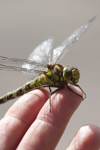 dragonfly_plumed serpent