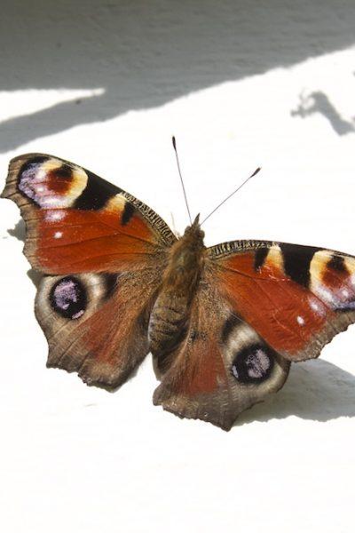 peacock butterfly_plumed serpent